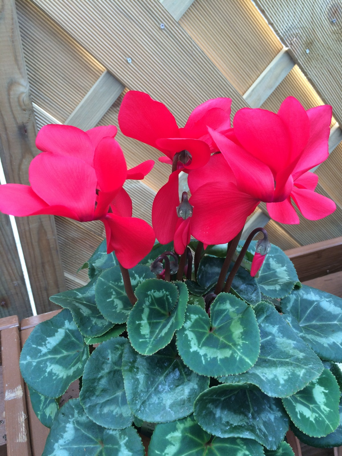 Looking Good Right Now Indoor Cyclamen Houseplant Embleys