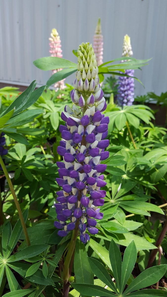 We grow lupins. Planting and maintenance in the open field 14