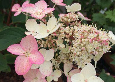 Hydrangea Shrubs at embleys nurseries garden centre near preston and southport
