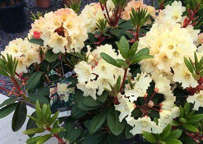 Rhododendrun at embleys nurseries garden centre near preston and southport