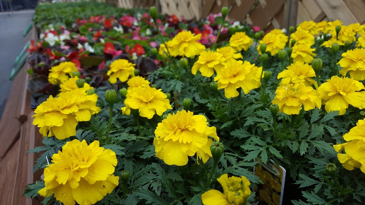 Summer Bedding Plants Embleys Nurseries Lancashire Southport and Preston