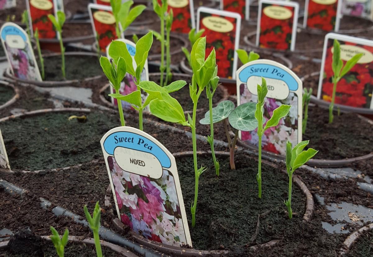 bedding plants at embleys nurseries garden centre near preston and southport