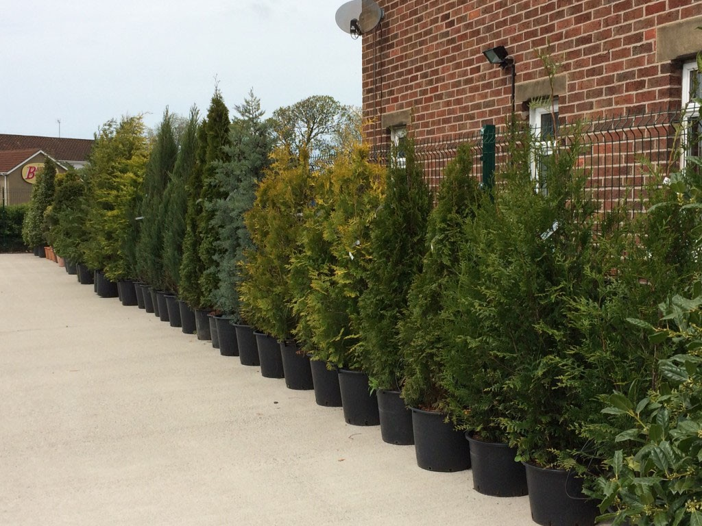 Conifers and Hedging at embleys nurseries garden centre near preston and southport