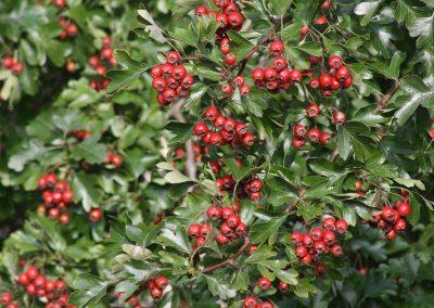 hawthorn at embleys nurseries garden centre near preston and southport