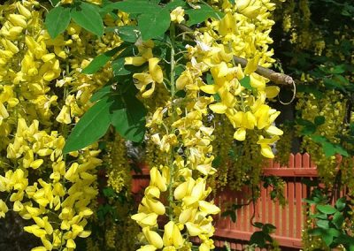 laburnum at embleys nurseries garden centre near preston and southport