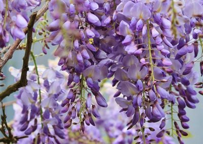 wisteria trees at embleys nurseries garden centre near preston and southport