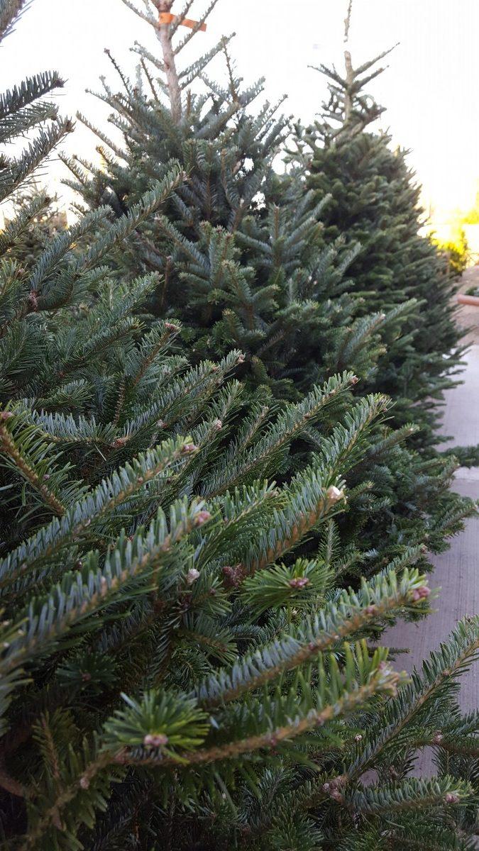 Premium Grade Fraser Fir Real Christmas Tree