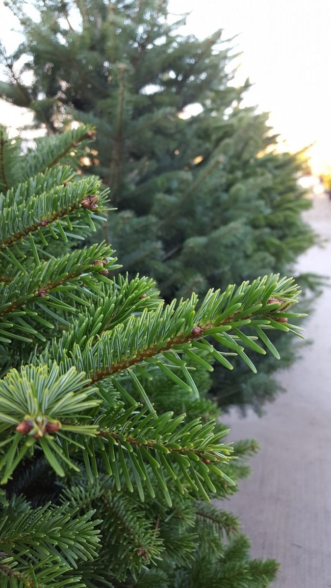 Premium Grade Nordman Real Christmas Tree