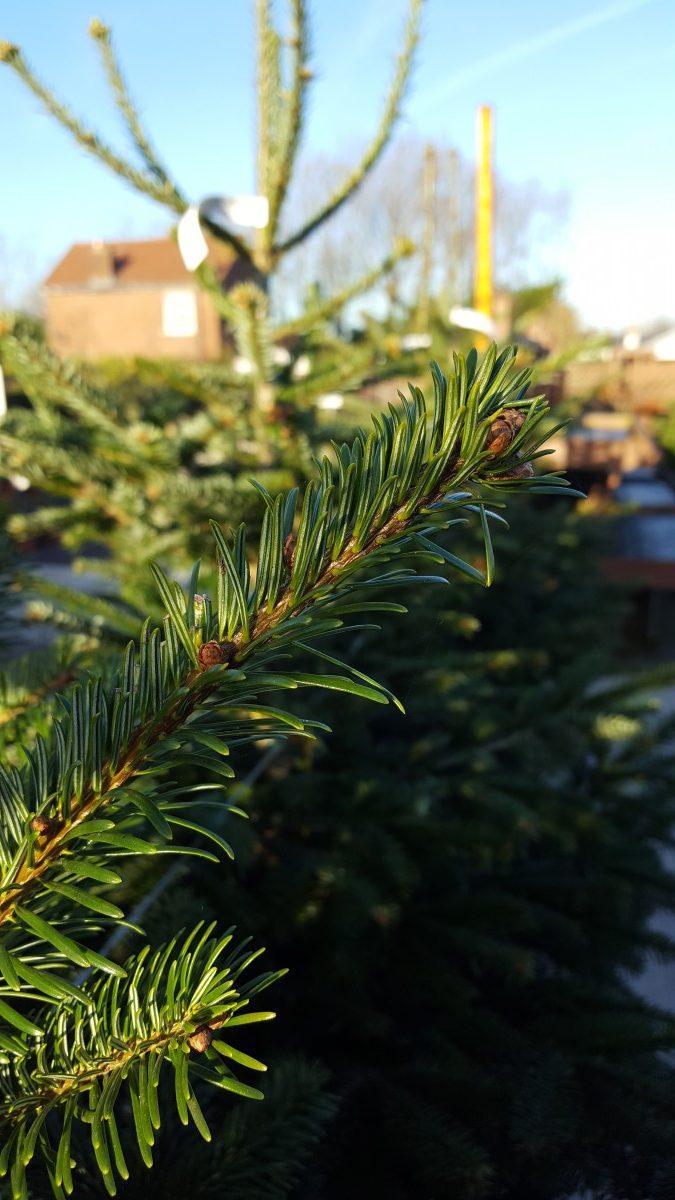 Pot Grown Real Christmas Tree