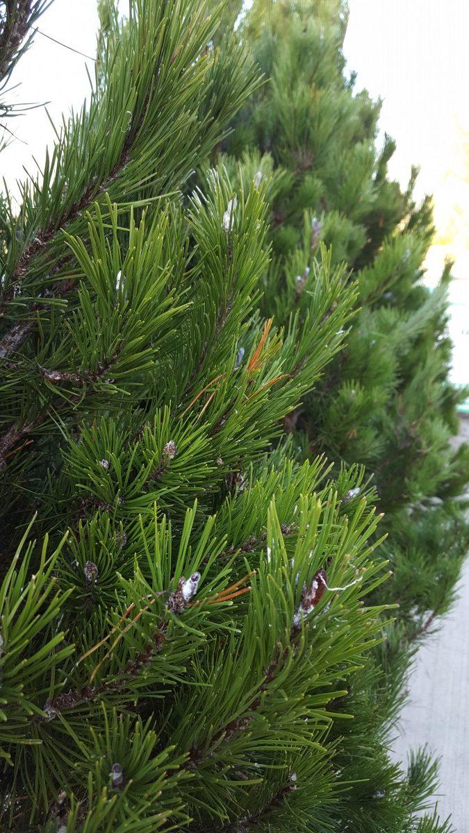 Lodgepole Pine Real Christmas Tree